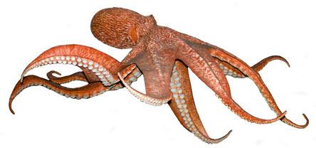 Har blekkspruten 3 hjerter?